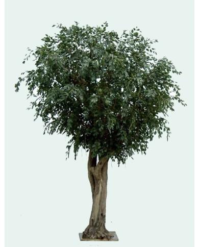 GIANT Ficus, ca. 350cm