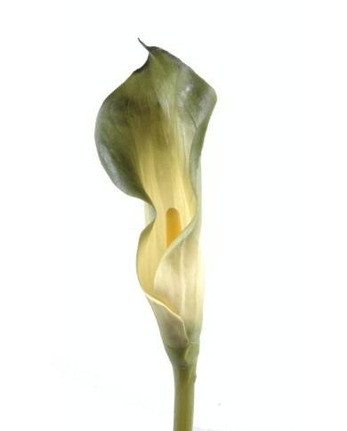 Künstliche Calla grün, ca. 90cm