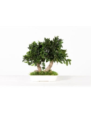 Konservierter Pittosporum Bonsai, ca. 25cm