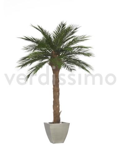Konservierte Phönix-Palme, ca. 240cm