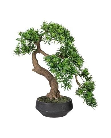 Bonsai Podocarpus Han-kengai, ca 75cm
