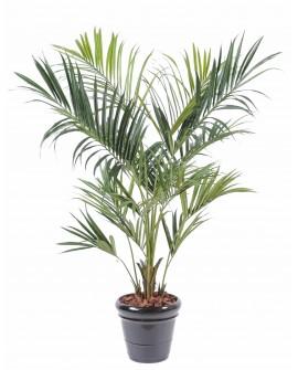 Palmiers Kentia